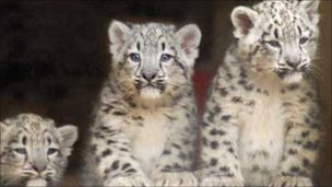 The three snow leopard cubs