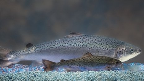 A GM salmon and an untreated salmon at the same age