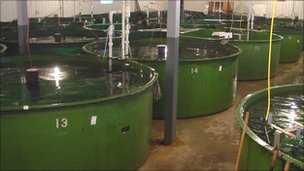 Tanks containing salmon