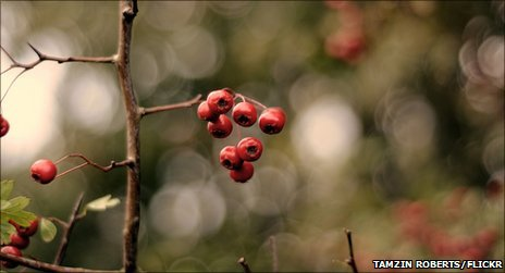Hawthorn berries (photo by Alwaysoutside on BBC Autumnwatch's Flickr group)