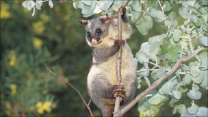 Common brushtail possum (Trichosurus vulpecula) in tree, Australia (Image: Thinkstock)
