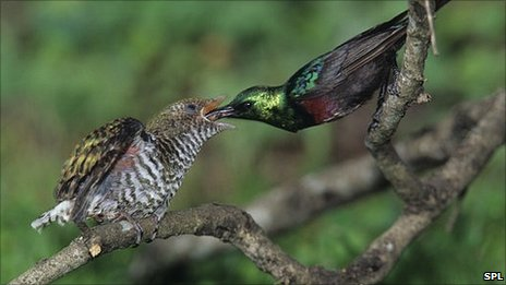 Marico sunbird feeding a cuckoo chick