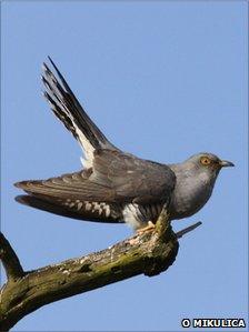 A male cuckoo