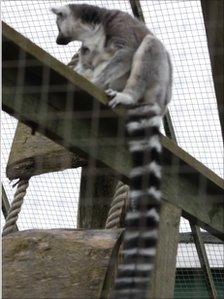 A lemur at Borth Animalarium