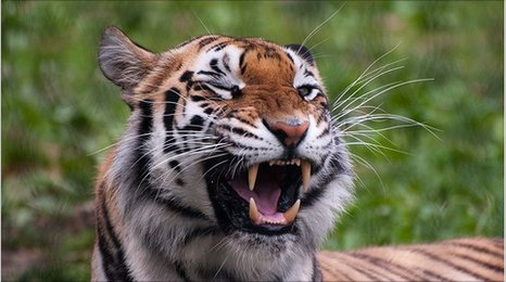 Tiger growling (E. Kilby)