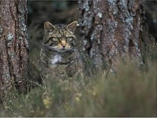 Wildcat in a pine forest