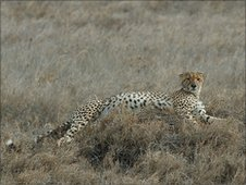 Cheetah in the Serengeti (S. Shepherd)