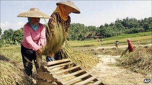 Rice harvest in West Java, Indonesia. Aug 2010