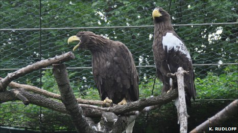 Dark Steller's sea eagle with mate (K. Rudloff)