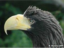 Steller's sea eagle (usual morph, K. Rudloff)