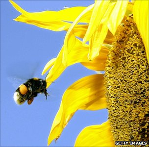 Bumblebee heading for a sunflower (Getty Images)
