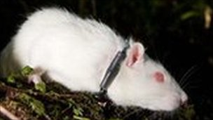 Rat with radio collar