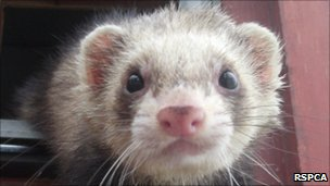 Ferret courtesy of RSPCA
