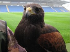Wilfred the Harris Hawk