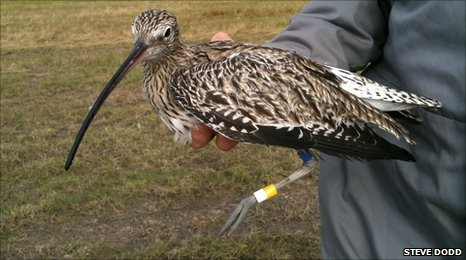 A curlew which has been tagged with a yellow ring