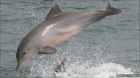 Guyana dolphin leaping: L May-Collado
