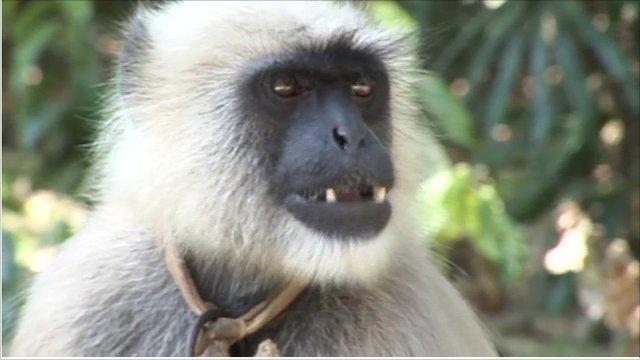 Black-faced langur monkey