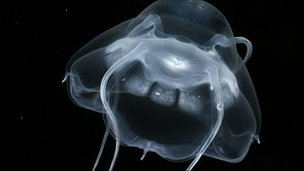 Deep-sea jellyfish Bathykorus bouilloni, found in the Arctic Ocean (Image: CoML/Kevin Raskoff)