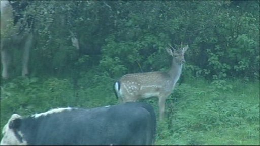 Deer mixing with cattle near Stroud