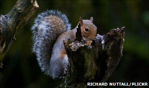 Grey squirrel (photo by Richard Nuttall, from Autumnwatch Flickr group)