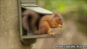 Red squirrel (photo by Mark Carline, from Autumnwatch Flickr group)