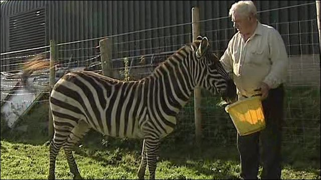 Man puts zebra up for sale. Hugh Simpson with his zebra. Cannot play media.