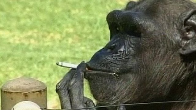 Charlie the smoking chimpanzee