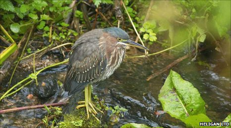 Green heron sighted in UK on 6 October 2010