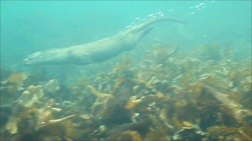 Otter swimming off Shetland