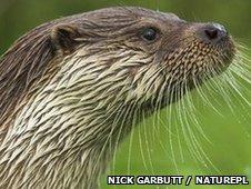 Eurasian otter (Nick Garbutt / NaturePl.com)