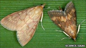 European corn borer moth