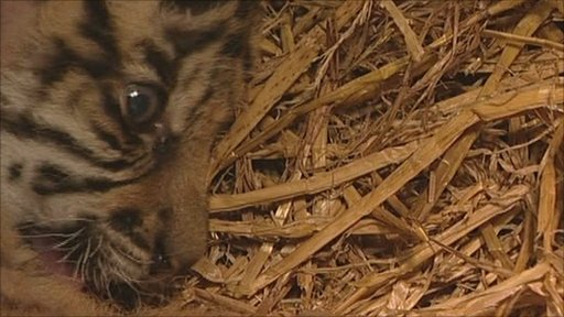 Sumatran tiger cub, Kadi, is being hand-reared.