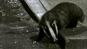 Urban badger in Essex town, filmed foraging at night