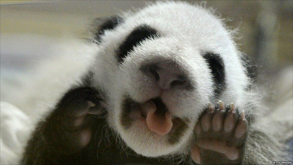Giant Panda Cubs Playing A newly born giant panda cub