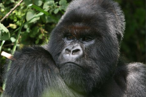Cantsbee the mountain gorilla