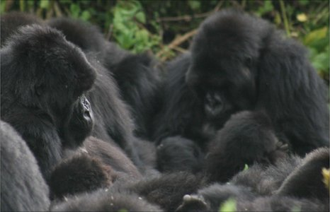 Mountain gorilla group