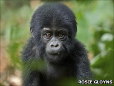 Ponoka, the baby mountain gorilla