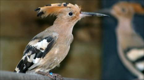 The Hoopoe is about the size of a Blackbird, cinnamon in colour with striking black and white stripes on their wings and tail feathers