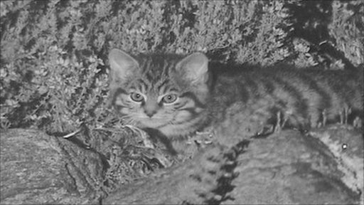 An elusive Scottish wildcat kitten filmed at night
