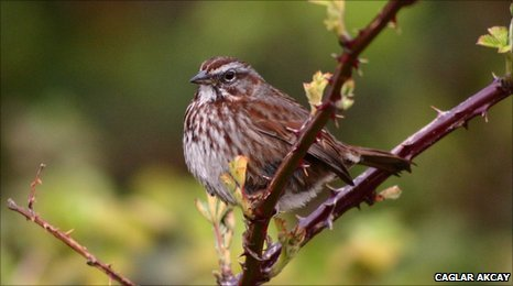 A Northwestern song sparrow (c) Caglar Akcay