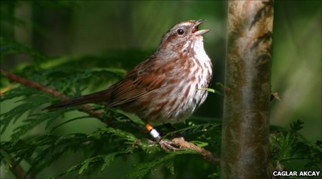 A male song sparrow singing (c) Caglar Akcay