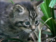 A rare Scottish wildcat kitten makes an appearance at Wildwood Discovery Park, near Canterbury, Kent. (Image: PA)