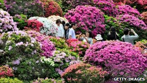 Viewing massed rhododendrons in Tokyo