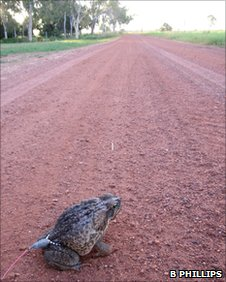 Cane toad with radio tag (Image: Ben Phillips)