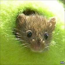 A harvest mouse finds a new home in a discarded Wimbledon tennis ball