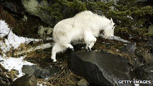 Mountain Goat (file)
