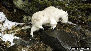 Mountain Goat (file)