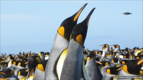 A displaying pair of king penguins