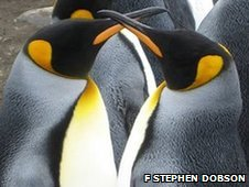 A bonded pair of king penguins