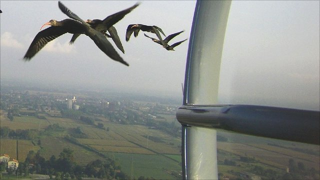 Northern bald ibis following a microlight (Team Waldrapp)